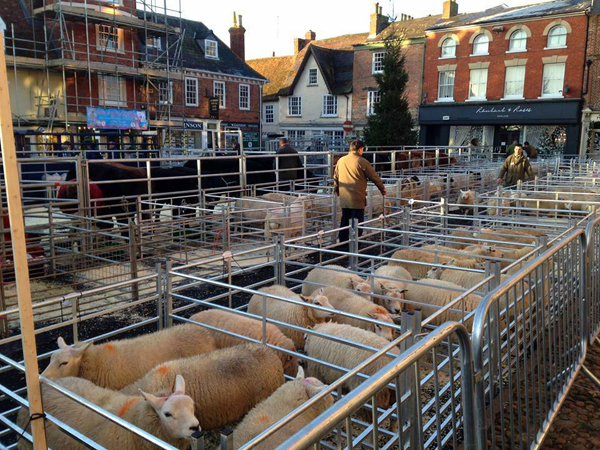 Sheep in pens on the Market Square